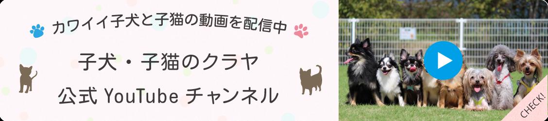 岡山のブリーダー クラヤ公式YouTubeチャンネル かわいい子犬・子猫の動画配信中