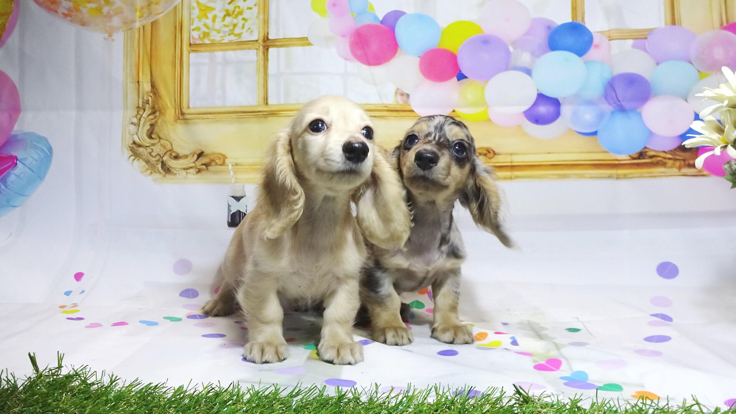 岡山の子犬・子猫ブリーダー クラヤの子犬たち