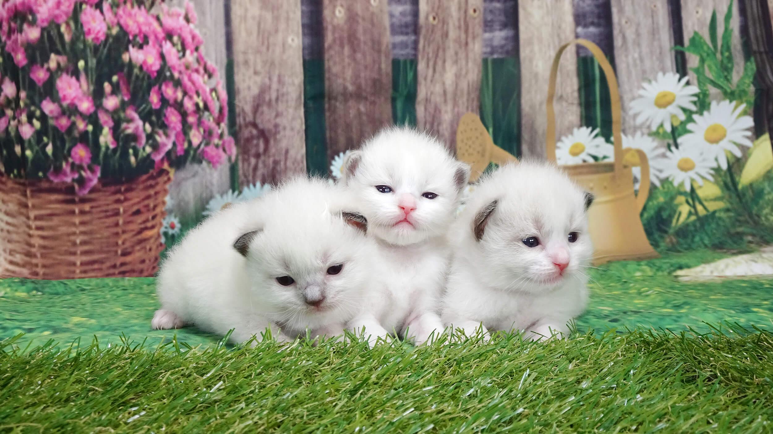 岡山の子犬・子猫ブリーダー クラヤの子猫たち
