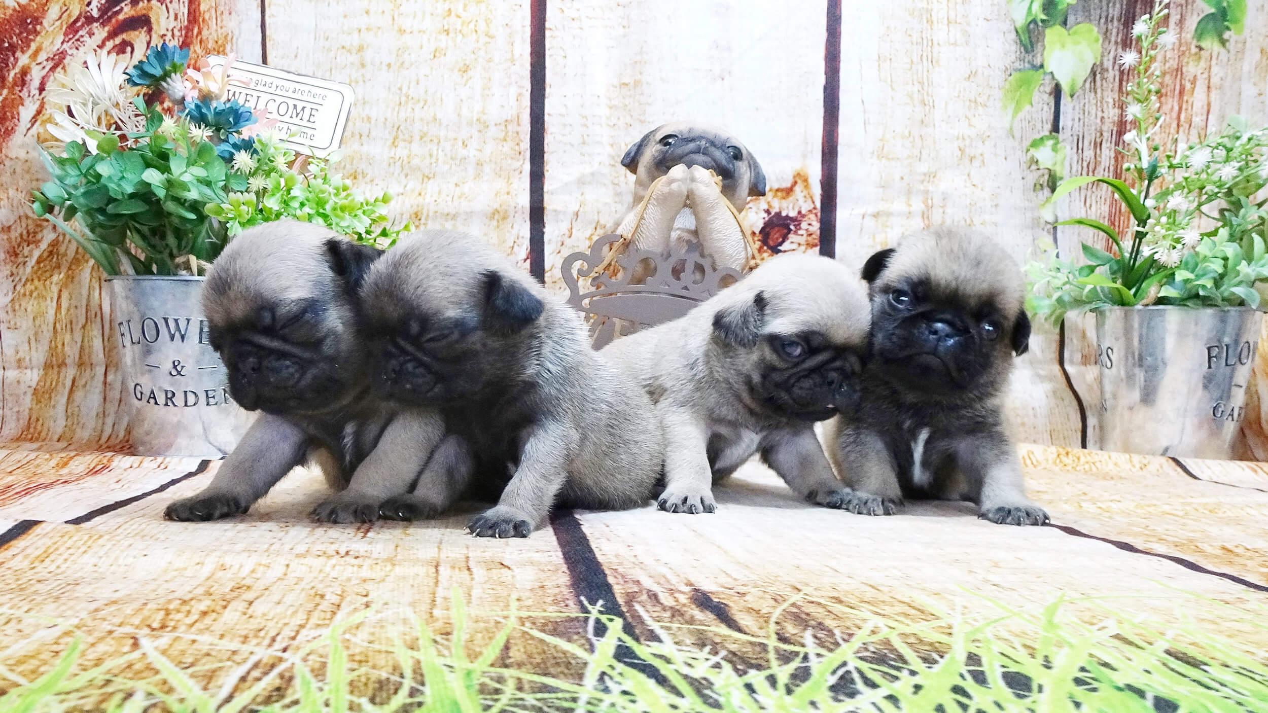 岡山の子犬・子猫ブリーダー クラヤの子犬