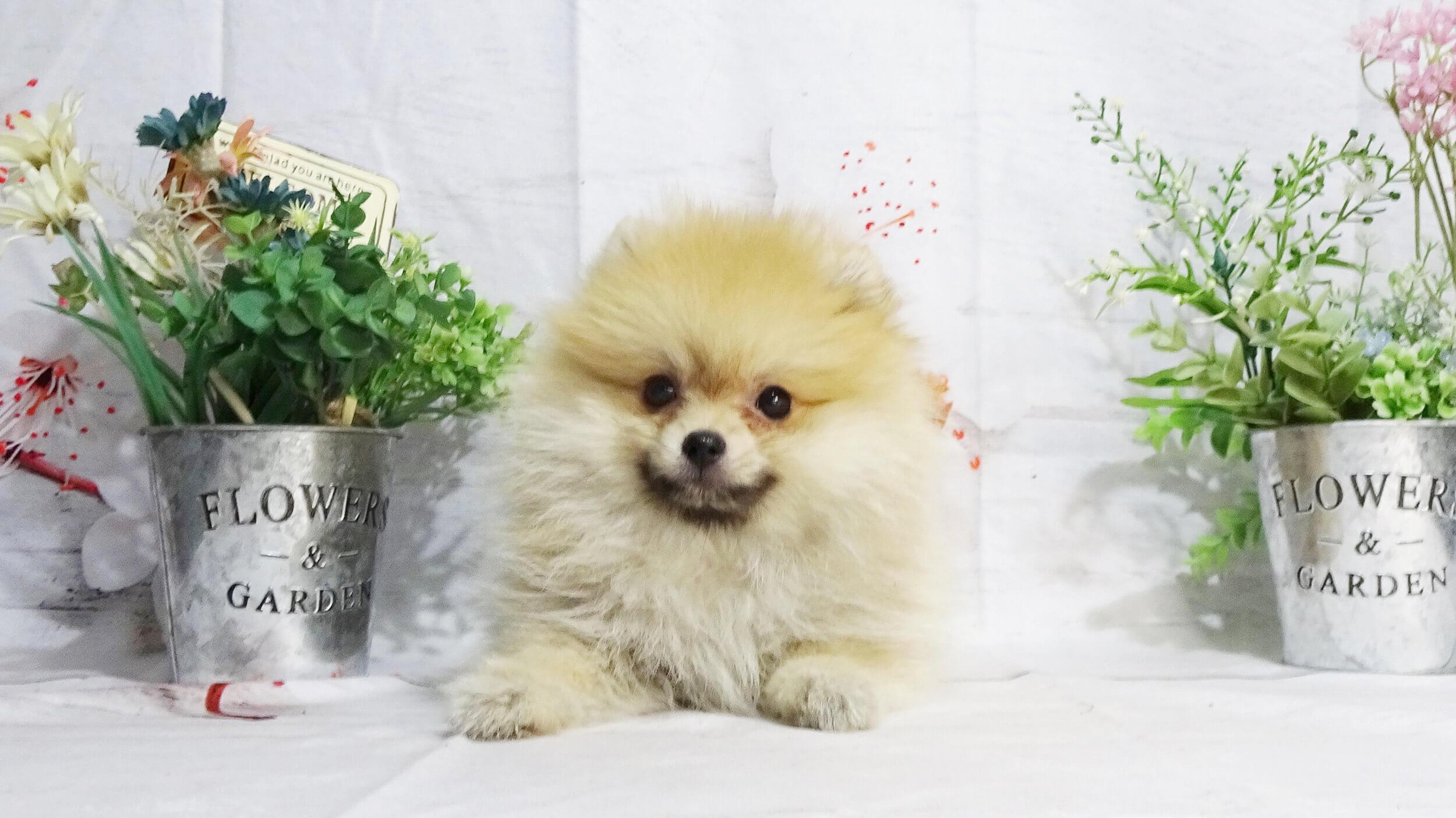 岡山の子犬・子猫ブリーダー クラヤの子猫