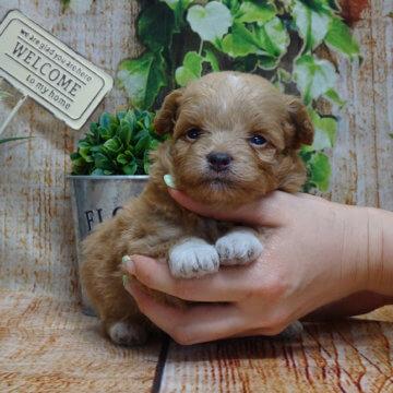 ポメプー(プードル×ポメラニアン)ミックス犬 20年4月6日