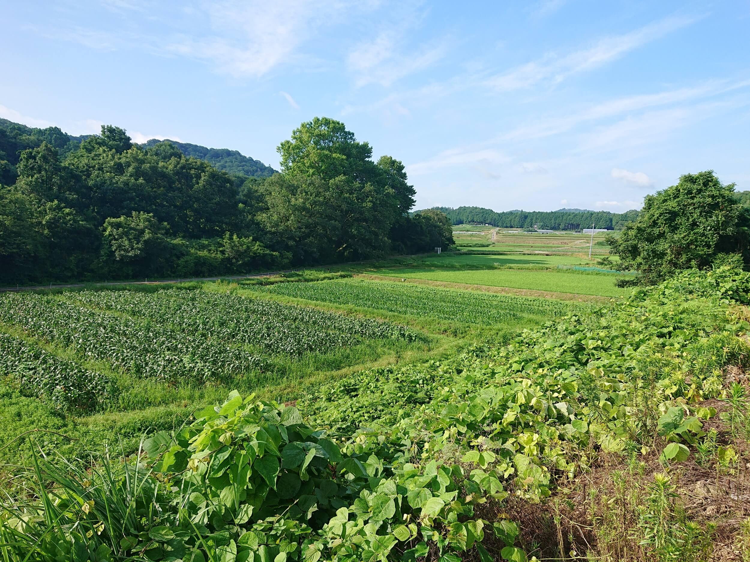 トウモロコシ畑 【自然】20年7月22日