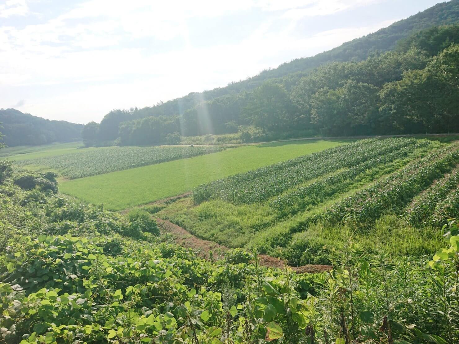 トウモロコシ畑 【収穫直前】収穫が楽しみ 20年7月22日