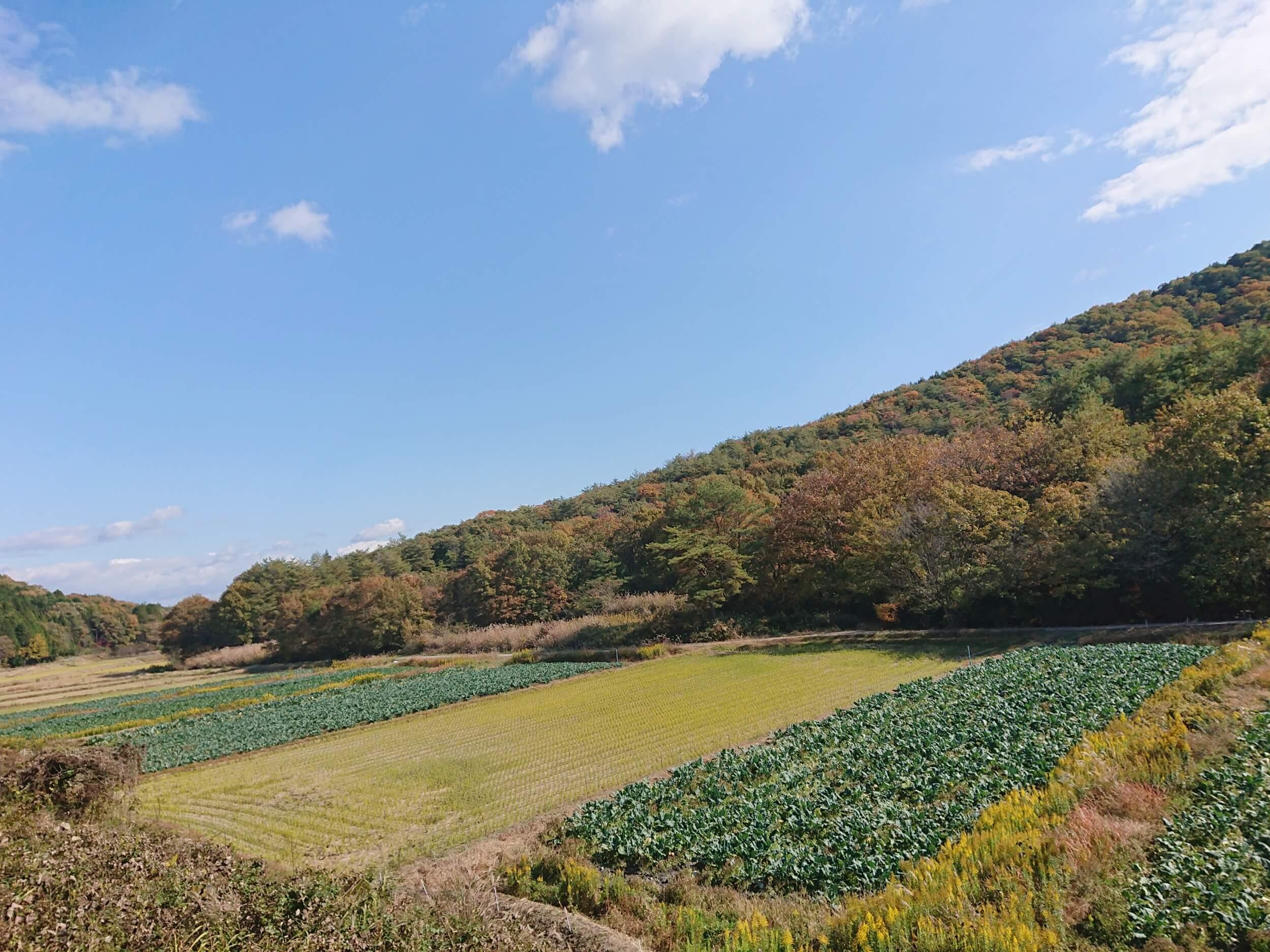 ブロッコリー畑 収穫