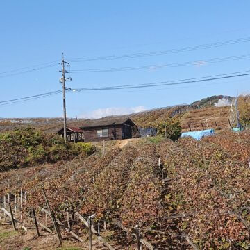 ブドウ畑 秋の風景
